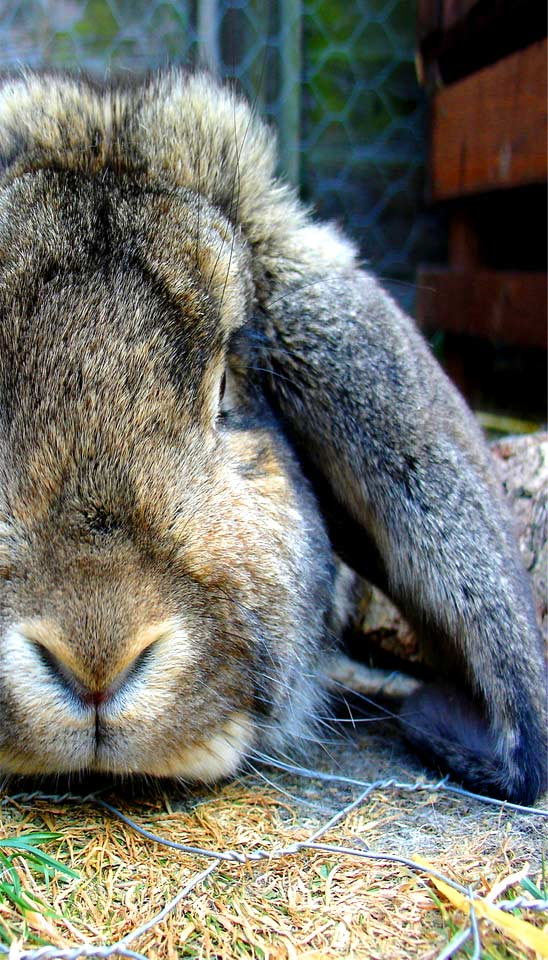 Lopped Ear Rabbit